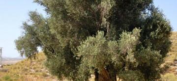 olivo-milenario2