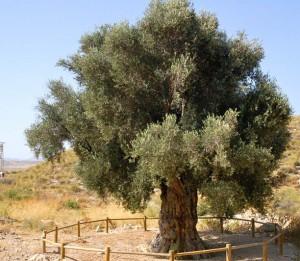 olivo milenario2