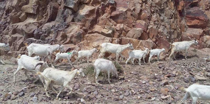 cabras juan castro